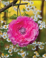 Ruffled Ranunculus Flower Clippie Hot Pink