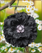 Dahlia Flower Clippie Black - 5 inch