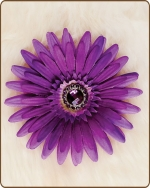 Daisy Flower Clippie Lavender/Purple